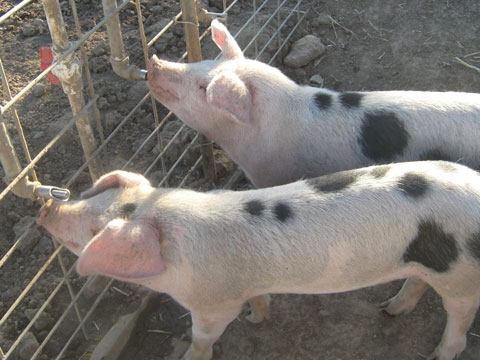 swine raising Find swine lesson plans and teaching resources from swine flu worksheets to swine flu worksheet videos, quickly find teacher-reviewed educational resources.